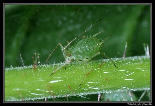 Puceron vert du noisetier (Corylobium avellanae)