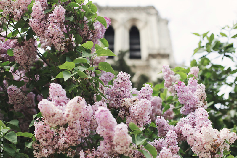 Lilacs and the Notre Dame