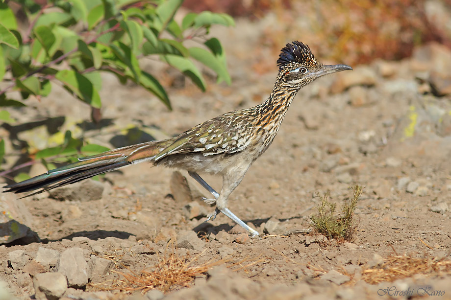 Greater Roadrunner 050513-06