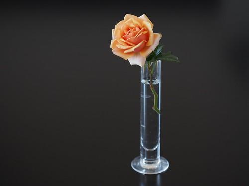 本日の我家の薔薇
