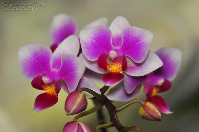 5ª Flower, + belas, orquídeas...