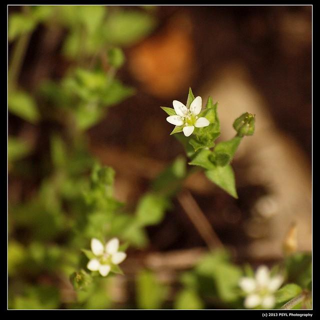 2013-06-02-P6022902-Thyme-leaved sandwort (Arenaria serpyllifolia)