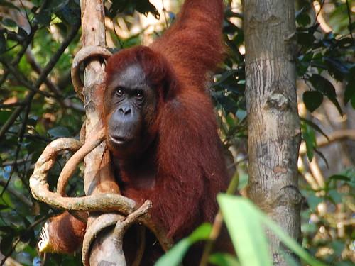 Semenggoh Centre orangutan kuching