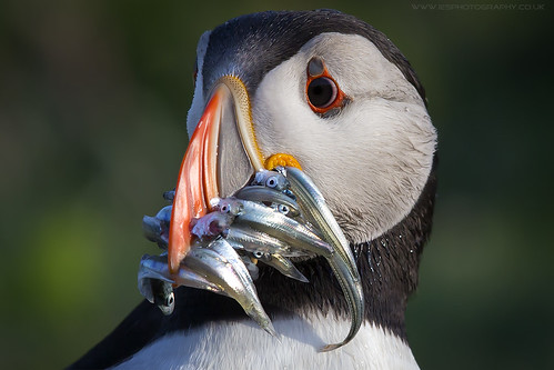 Puffin with Mouth Full of SandEels