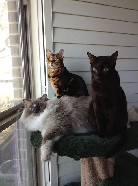 Ellie, Koa, and Tyco on Cat Tree