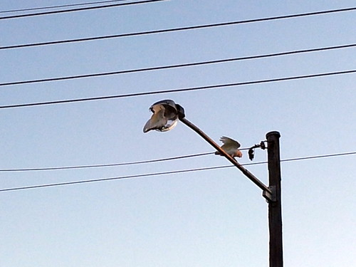 Cockatoos playing with street-lamp