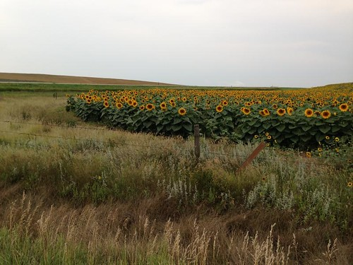 sunflowers IMG_0481