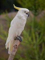 parrot(0.0), parakeet(0.0), cockatoo(1.0), animal(1.0), wing(1.0), pet(1.0), sulphur crested cockatoo(1.0), fauna(1.0), beak(1.0), bird(1.0), wildlife(1.0),