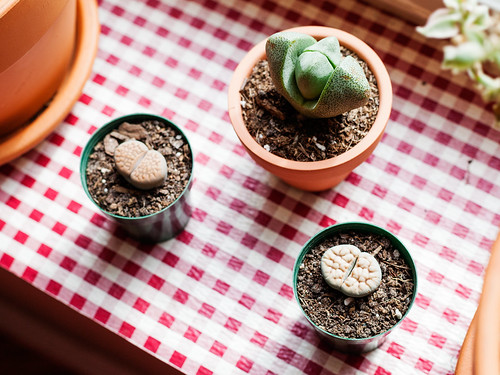 Split Rock and Lithops with wrinkles