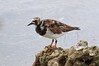 Ruddy Turnstone by btrentler