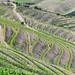 F9294 ~ Vineyards in Douro II by Teresa Teixeira