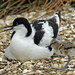 Avocet and chick by NickWakeling
