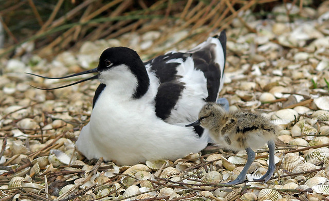 Avocet and chick (Explore)