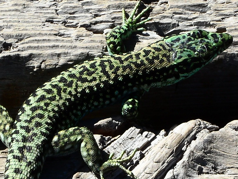 Peñalara. Alpino. Artrópodos, anfibios y reptiles 17555254628_ee4197628d_c