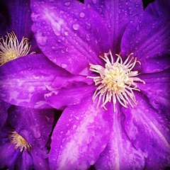 Purple Clematis in the rain   #purple #clematis #rain #flower #flowers #nature #picoftheday