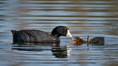 Coot parent feeding its chick