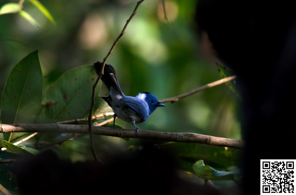Black-naped Monarch [Monarca Nuquinegro]