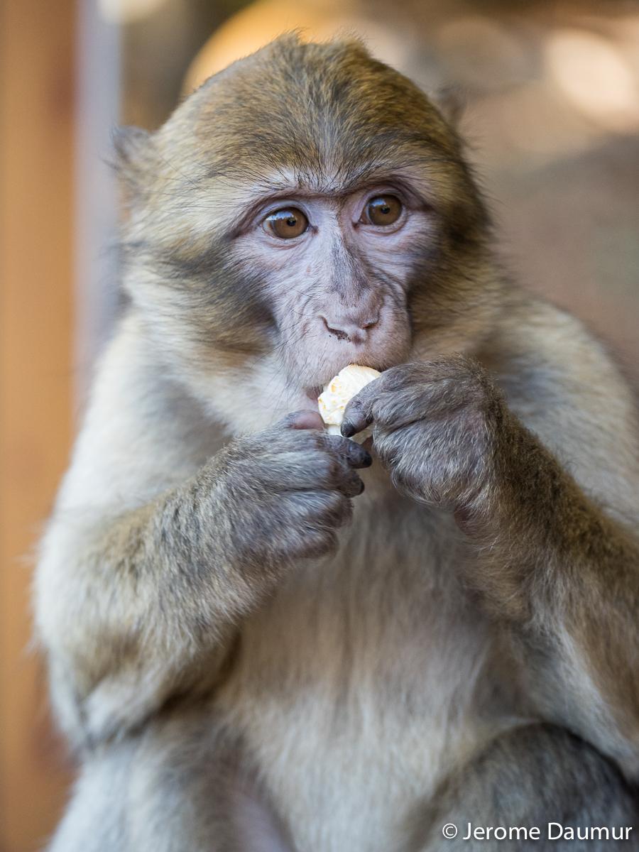 Magot monkey 1