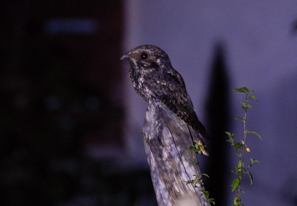 Greater Antillean Nightjar