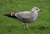 Herring Gull (Larus argentatus smithsonianus)