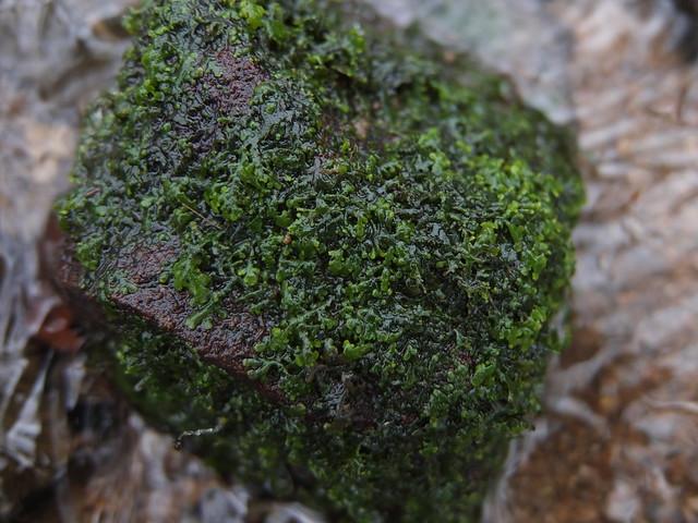 Riccardia chamedryfolia, Fujifilm XF1