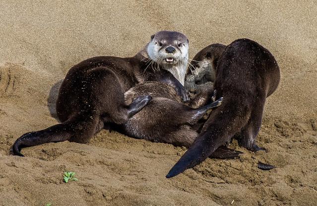Wrestlemania, River Otter Style! - Explored