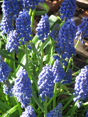english lavender(0.0), lavender(0.0), lilac(0.0), flower(1.0), plant(1.0), hyacinth(1.0),