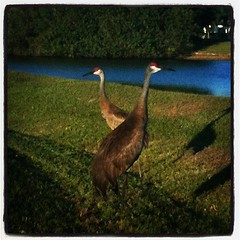 Sandhill Cranes #nature #homeschool #swfl