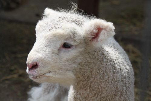 Fresh lamb