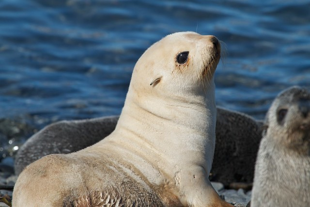 Blonde Antarctic fur seal