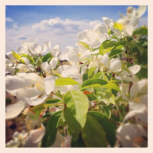 Crab Apple #blossoms  against a beautiful sky