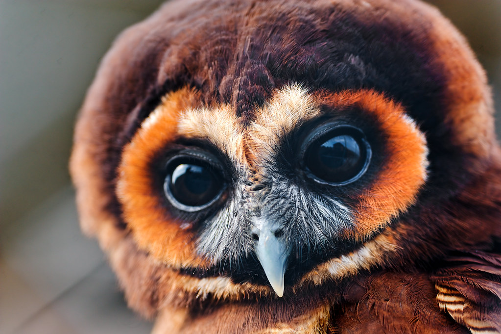 Pretty brown owl
