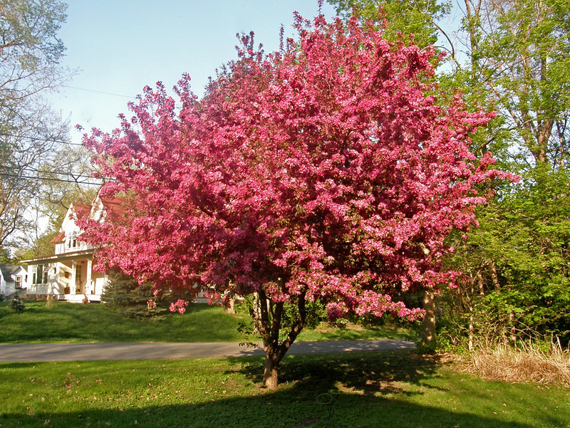 Our crab apple tree