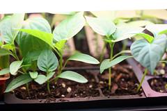 seedlings 022