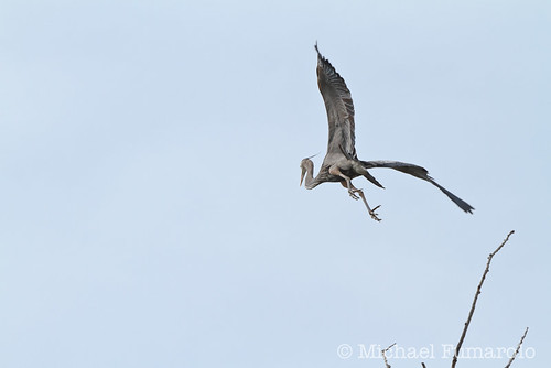 Great Blue Heron In Flight Series - 07