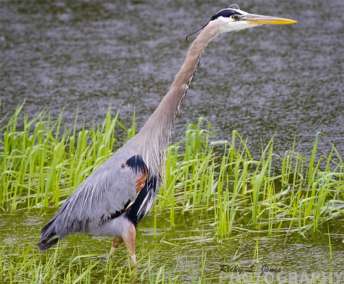 Great Blue Heron by Ricky L. Jones Photography
