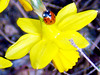 1451-yellow narcissus by lvira2009