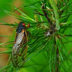 148/365: Zorro the Cicada (spot the