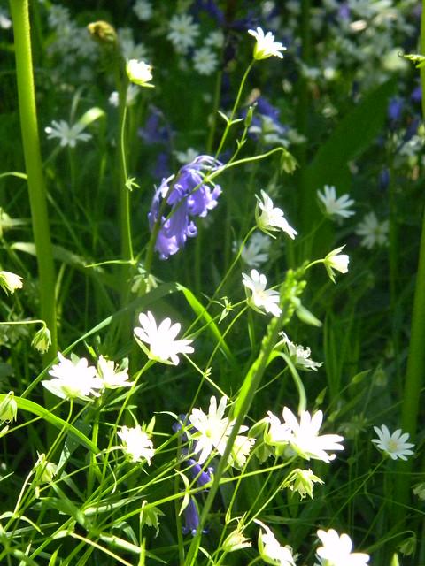 Stitchwort and Bluebells