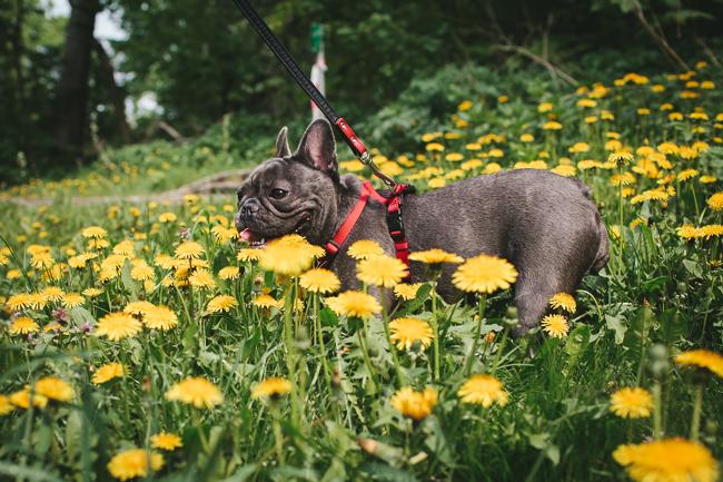 Volkspark Friedrichshain French Bulldog