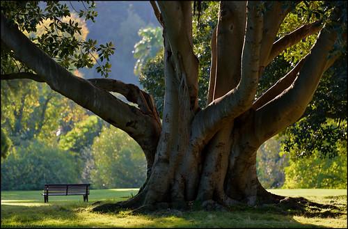 tree topf25 landscape scenery australia melbourne victoria royalbotanicgardens