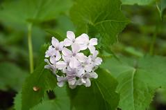 blossom(0.0), hydrangea serrata(0.0), thimbleberry(0.0), hydrangea(1.0), annual plant(1.0), flower(1.0), leaf(1.0), plant(1.0), herb(1.0), wildflower(1.0), flora(1.0), green(1.0), produce(1.0),