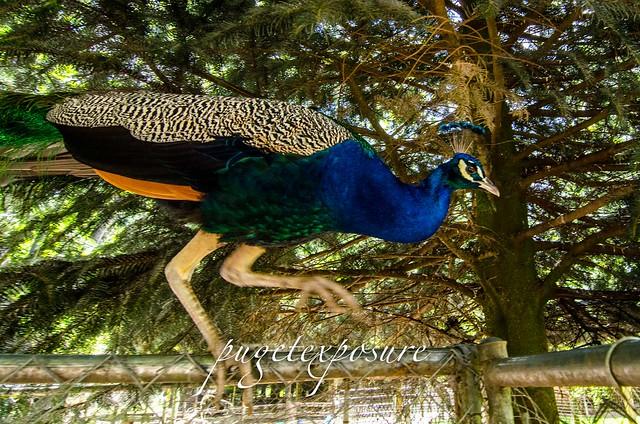 Peacock at outback kangaroo farm