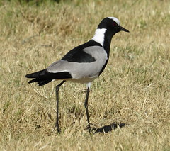 May 27 - 18 Blacksmith Lapwing - Vanellus armatus