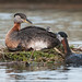 Red-necked Grebes - feeding time!