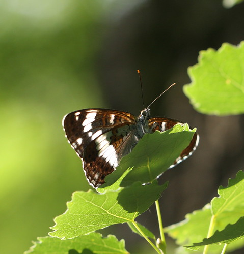 moth52