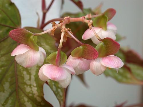 Begonia 'Charles Jaros'