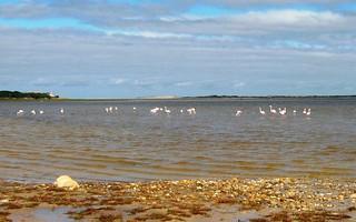 Flamingos wading