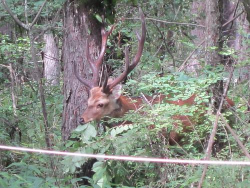庭に現れた牡鹿 2013年8月26日14:05 by Poran111