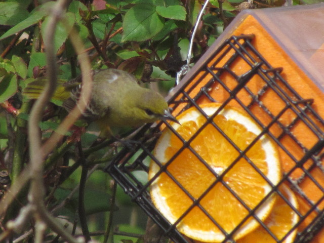 Orchard Oriole female?2 5:8:14